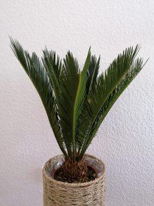 Hauspflanze